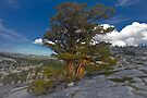 Bristle Cone Majesty by photosbyflood