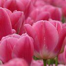 Pink Dreams  by Fiona Kersey