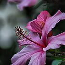 Hibiscus by adbetron