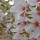 Spring Blooms by Lisa Taylor