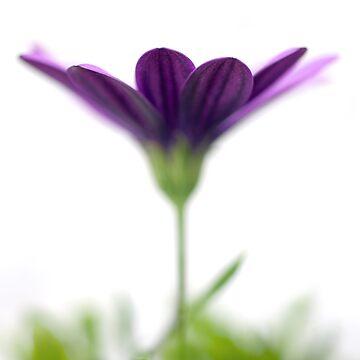 Purple evanescence by BarbaraCorvino