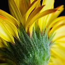 Yellow Gerbera by mausue