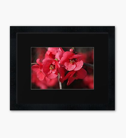 Rich and Lush Flowering Quince Framed Print