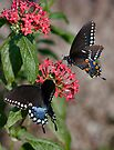 Giant Swallowtails by photosbyflood