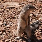 Cape Ground Squirrel, Fish River Canyon Namibia Africa by MacLeod