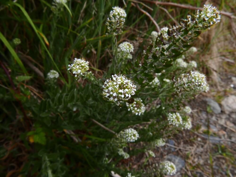 Smith's Pepperwort (Lepidium heterophyllum) by IOMWildFlowers
