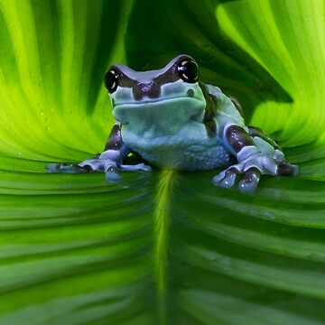 Amazon milk frog by AngiNelson