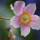 wild rose by JOSEPHMAZZUCCO