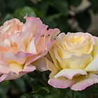 Beauteous Roses by John Thurgood