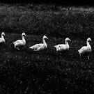 Marching Geese by Geoff Payne