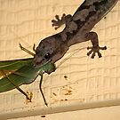 Lesueur's Gecko - Dinner time. by Normf