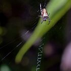 Spider on its web Leith Park Victoria 20180406 2390 by Fred Mitchell
