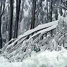 Snow weighted trees  Mt Baw Baw by Bev Pascoe