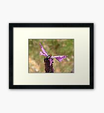 Soldier Beetle on French Lavender Framed Print
