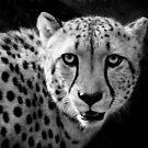 African Cheetah by Savannah Gibbs
