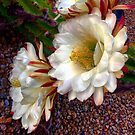 White Queen Cactus Blooms by AlexandraZloto