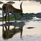 A REFLECTION - THE WATERBUCK – Kobus ellipsiprymnus by Magriet Meintjes