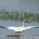 White Pelican in Flight by janetmarston