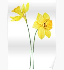yellow daffodils watercolor painting Poster