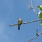 Western Kingbird in Colorado by janetmarston
