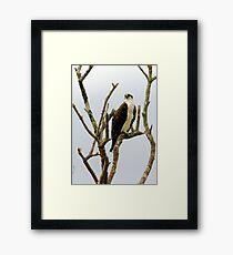 Osprey in naked tree Framed Print