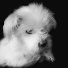 A little Fluff Ball by Clare Colins