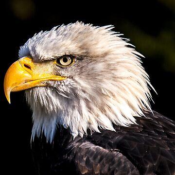American Bald Headed Eagle by harrizon