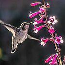 Hummingbird on Penstamon by Linda Gregory