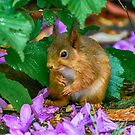 Red Squirrel - Cumbria by Richard Ion