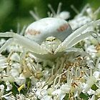 Crab Spider looking at me........Lyme  Dorset UK by lynn carter