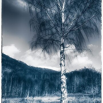 Silver birch by shore of Loch Leven by TheDabber