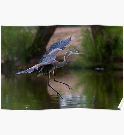 0605092 Juvenile Blue Heron Poster