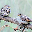 Sparrow fledglings by Laurie Minor