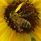Pollen covered bee in sunflower by jsmusic