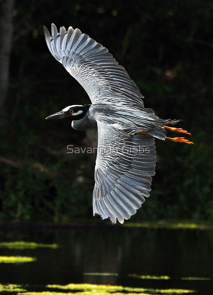 Yellow-crowned Night Heron in flight by S Gibbs