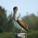 Pelican Watching by Virginia N. Fred