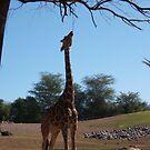 Giraffe Eating Tree by jensch8
