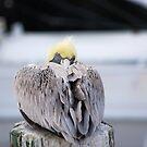 Brown Pelican by Dan Shiels