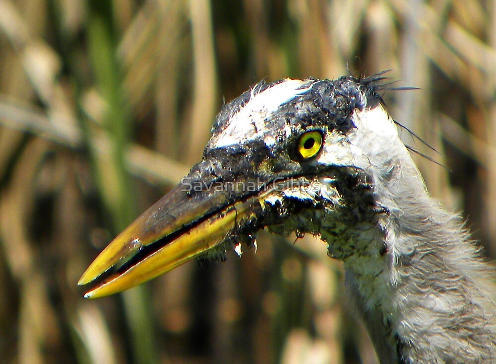 Great Blue Heron by S Gibbs