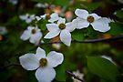Dogwood Flowers by photosbyflood