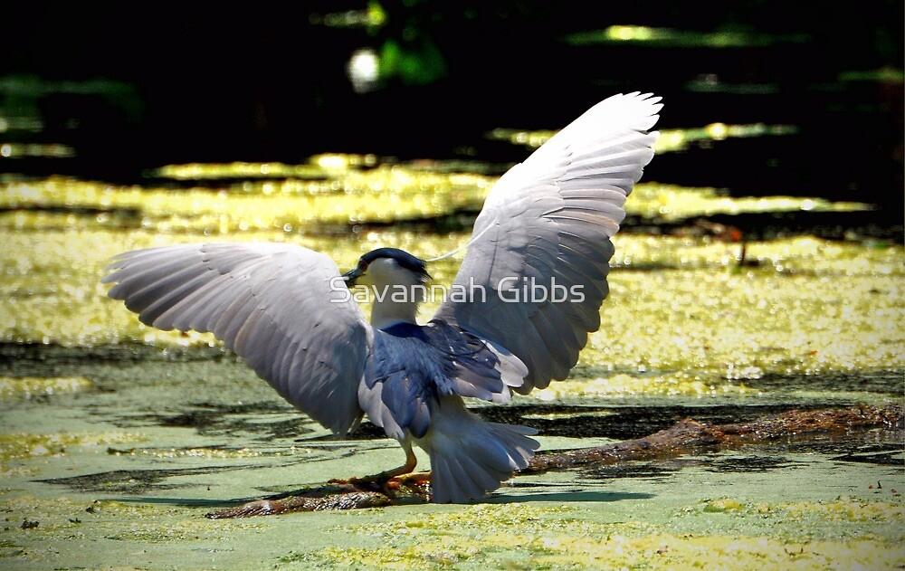 Black-crowned Night Heron by S Gibbs