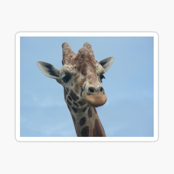 Giraffes 011 Sticker