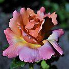 Sherbert Rose by Len Bomba
