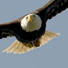 The Focus of an Eagle by David Friederich