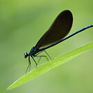 Electric blue Damsel fly by mwfoster