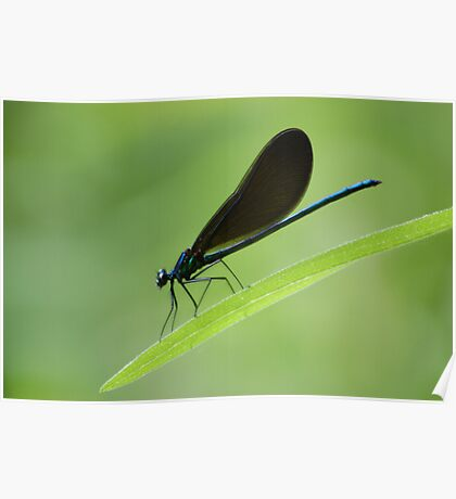 Electric blue Damsel fly Poster