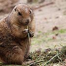 Cute prairie dog by Anteia