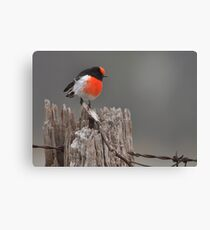 Red Capped Robin #2 Canvas Print