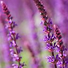Summer purple by HelenaBrophy