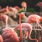 Flamingos in a Pond by PixLifePhoto